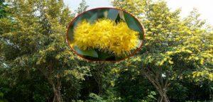 ต้นรวงผึ้ง ต้นไม้ประจำรัชกาลที่ 10