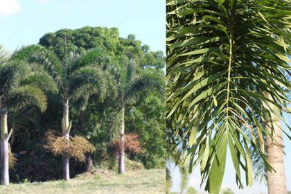 ต้นปาล์มฟอกเทล